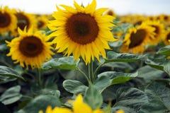 Feld von Sunflowers Stockfotos