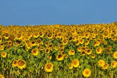 Feld von Sunflowers Stockfotos