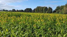 Feld von Sunflowers Lizenzfreie Stockfotos