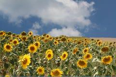 Feld von Sunflowers Lizenzfreies Stockbild