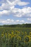 Feld von Sunflowers lizenzfreies stockfoto