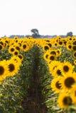 Feld von Sunflowers Aufbau der Natur Lizenzfreies Stockfoto