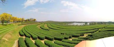 Feld von Teebäumen schnitt ordentlich die Formung einer attraktiven Landschaft Stockfoto
