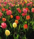 Feld von Tulpe Blumen, die im Frühjahr blühen lizenzfreie stockbilder