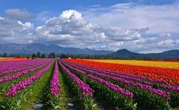 Feld von Tulpen Stockfotografie