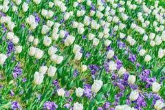 Feld von Tulpen Stockfotos