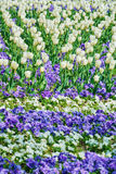 Feld von Tulpen Lizenzfreies Stockfoto