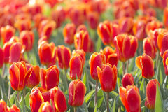 Feld von Tulpen Stockfoto
