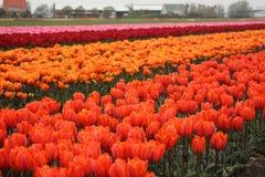 Feld von Tulpen Lizenzfreie Stockfotografie