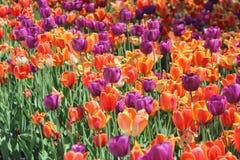 Feld von Tulpen Stockbilder