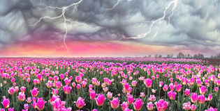 Feld von Tulpen in Chernivtsi Stockfotografie