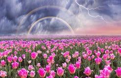 Feld von Tulpen in Chernivtsi Lizenzfreie Stockbilder