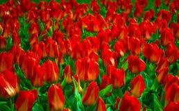 Feld von Tulpen Feld der roten Tulpen Rote Tulpen Lizenzfreie Stockbilder
