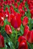 Feld von Tulpen Feld der roten Tulpen Rote Tulpen Lizenzfreies Stockfoto
