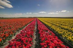 Feld von Tulpen im Bordeaux Stockfotos