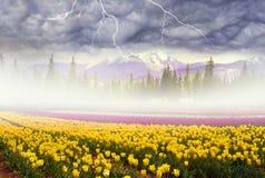 Feld von Tulpen im Nebel Stockfotografie