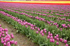 Feld von Tulpen am La Conner, Washington stockbild