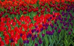 Feld von Tulpen Tulpenblumen Rote Tulpen Frühlingstulpengrün Stockfotografie