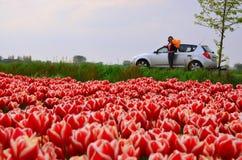 Feld von Tulpen und von Straße Lizenzfreie Stockbilder