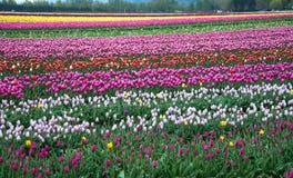 Feld von verschiedenen farbigen Tulpen Stockfotos
