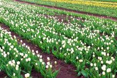 Feld von verschiedenen tilips im Frühjahr Lizenzfreie Stockfotos