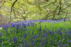 Feld von violetten Glockenblumen stockbild