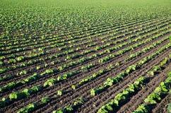 Feld von wachsenden braunen Bohnenanlagen Stockfotos