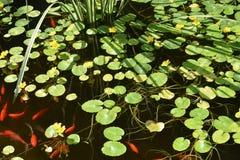 Feld von Wassermohnblumen mit Goldfischen Stockfotos