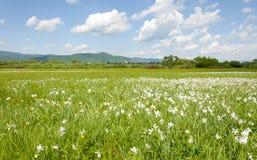 Feld von weißen Blumen und von blauem Himmel in Ukraine stockfotografie