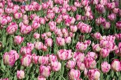 Feld von weißen purpurroten Tulpen lizenzfreies stockfoto