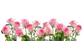 Feld von weißen Rosen mit einer rosa Grenze lokalisiert Stockfotos