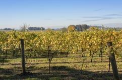 Feld von Weinberge Willamette-Tal Oregon Lizenzfreie Stockfotografie