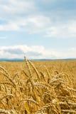 Feld von Weizenähren und von blauem Himmel Stockbilder