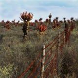 Feld von wilden blühenden Aloen lizenzfreie stockfotografie