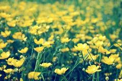 Feld von wilden gelben Blumen, blühende Butterblumeen stockfoto