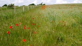 Feld von wilden Mohnblumen auf den Südabstiegen lizenzfreie stockbilder