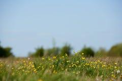 Feld von wilden Wiesenbutterblumeen Stockfotografie