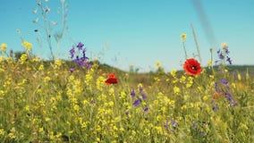 Feld von Wildflowers mit Mohnblumen, grünem Gras und Gelb blüht Nahaufnahme ROHE Videoaufzeichnung stock video