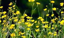 Feld von yellowcup Stockbild