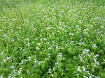 Feld von Ziegenunkrautblumen stockfotos