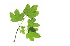 Feldahorn (Acer campestre) Stockfotografie