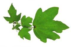 Feldahorn (Acer campestre) Lizenzfreies Stockfoto