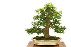 Feldahorn Acer-campestre als Bonsaibaum Lizenzfreie Stockfotografie