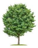 Feldahornbaum auf einem weißen Hintergrund Lizenzfreies Stockbild