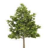 Feldahornholzbaum getrennt auf Weiß Stockfoto