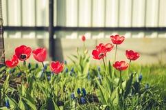 Feldblumentulpe Schöne Naturszene mit blühender roter Tulpe/Sommerblumen Schöne Wiese Wiese voll des gelben Löwenzahns lizenzfreies stockfoto