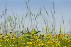 Feldchrysantheme Lizenzfreie Stockbilder