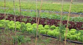 Felder auf Ackerland mit Kopfsalat und Radicchio Lizenzfreies Stockfoto