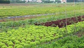 Felder auf Ackerland mit Kopfsalat und Radicchio Stockfoto