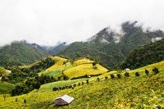 Felder der gelben Bohne Stockbilder